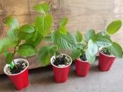 Mitragyna speciosa (Kratom) - Live plant